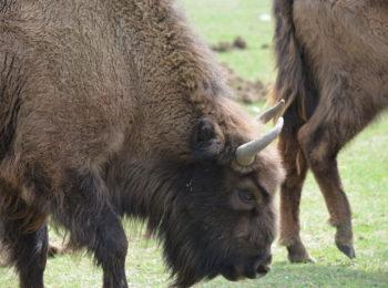 Balla con i bisonti. Visitare la Reserve des Monts d'Azur per vedere il bisonte europeo