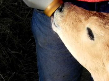 Allattiamo i vitellini!