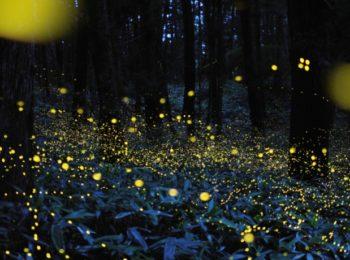 Passeggiata notturna tra le danze luminose delle lucciole in amore