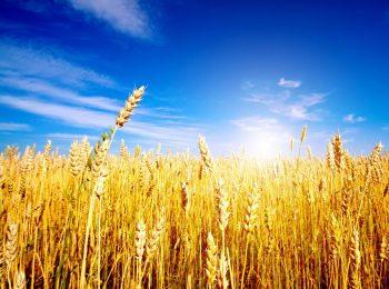 Fierucolina del grano