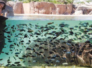 Zoom torino in piscina con gli ippopotami ma davvero for Pesci finti per piscina