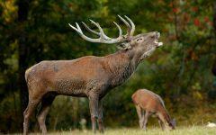 GG 23 sett il bramito del cervo
