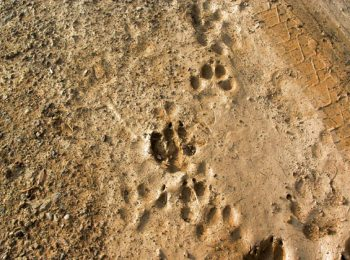 Lab tracce degli animali