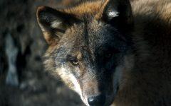 GG 2 gen con gli occhi del lupo