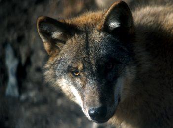 Con gli occhi del lupo