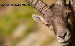 GG-22-apr-safari-alpino-famiglie