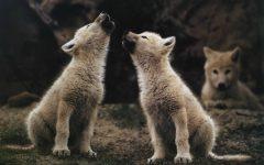 GG 11 ago il ritorno del lupo