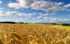GG fierucolina del grano