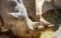 zoom rinoceronti