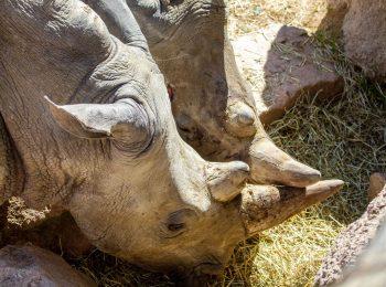I rinoceronti a Torino? Naturale, sono a Zoom
