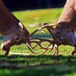 Il bramito del cervo