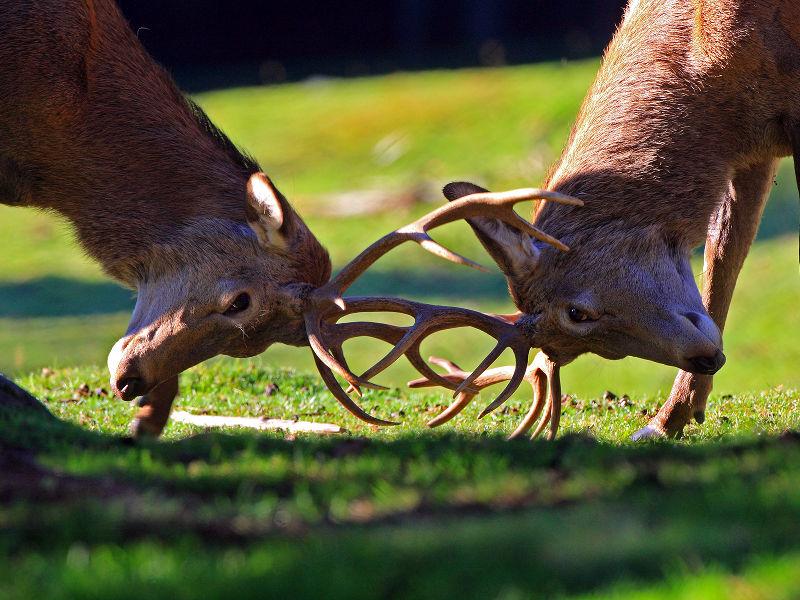 GG 29 sett il bramito del cervo