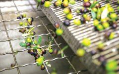 GG raccolta olive liguria e umbria