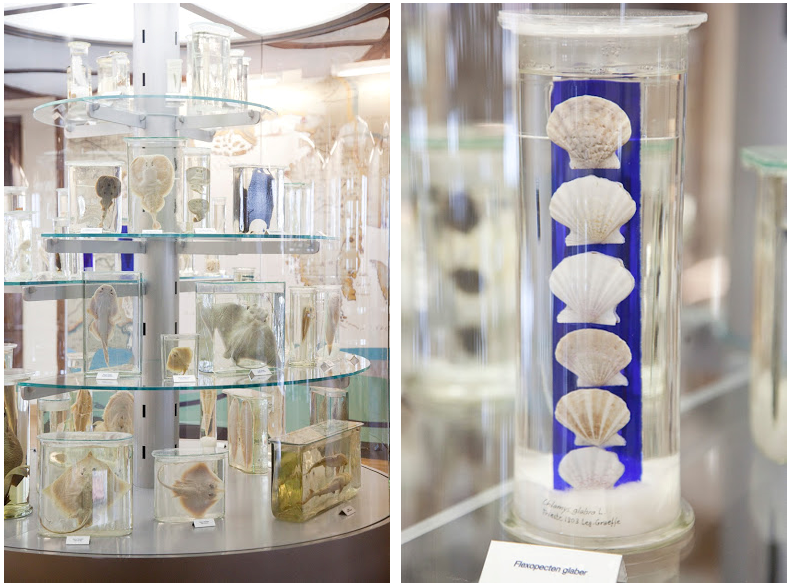 Museo Olivi ricci di mare
