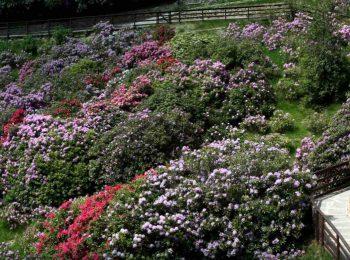 Oasi Zegna in maggio: arriva la fioritura nella Conca dei Rododendri