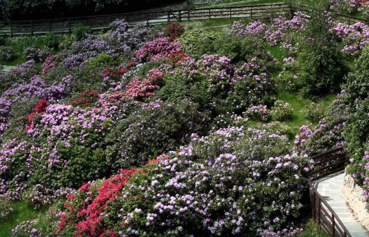 Oasi Zegna in maggio: arriva la fioritura dei Rododendri