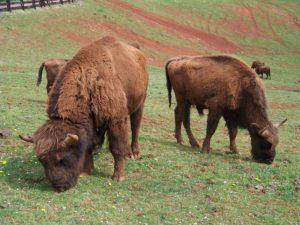 vedere i bisonti in Italia