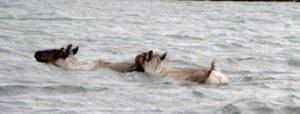Swimming reindeer