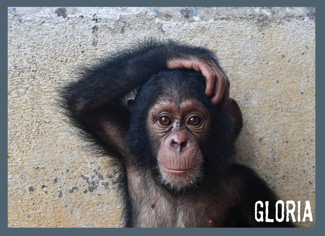 Adotta scimpanzé